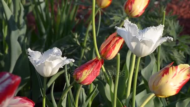 Different blooming tulips.