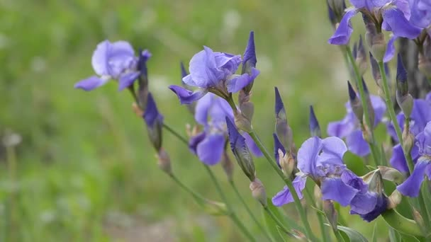 In nature, blooming irises