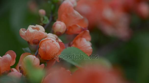 Flowering Japanese quince