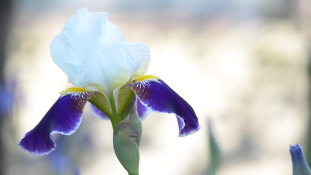 In nature, blooming irises
