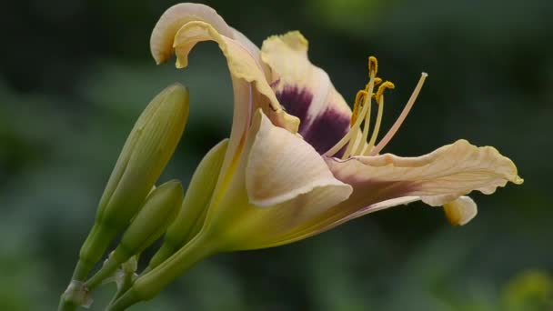 Kéttónusú virágzó daylilies