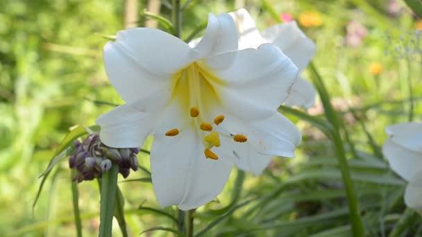 virágzó fehér liliom