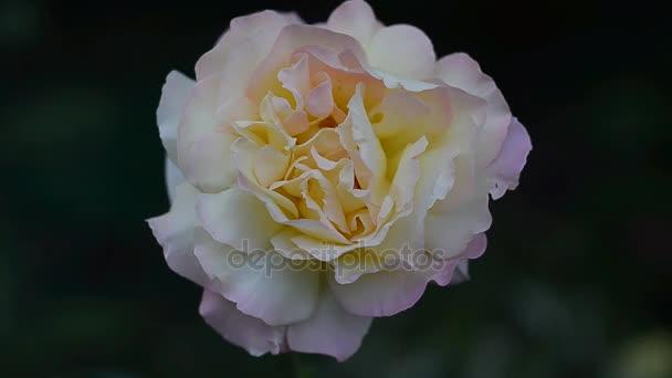 Bright rose on a dark background