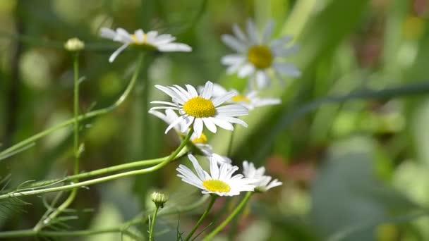 Blooming wild chamomile