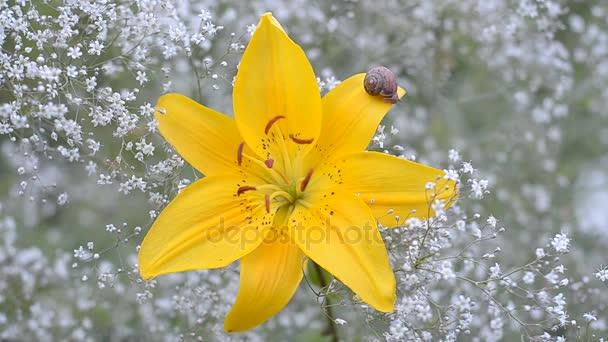 Virágzó sárga liliom