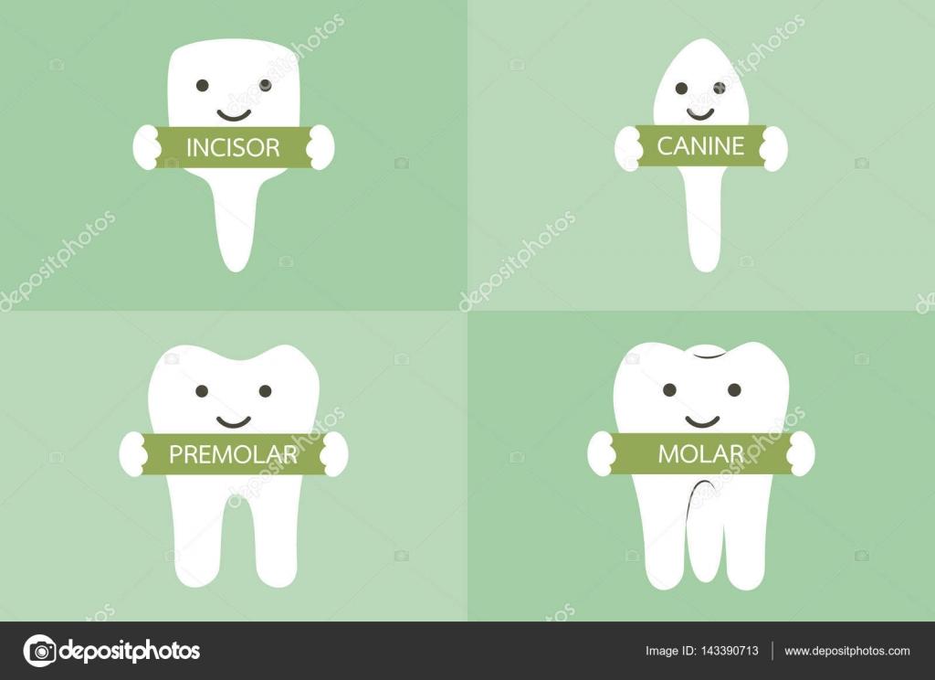 Zahn Art - Schneidezahn, Eckzahn, Prämolaren und Molaren ...