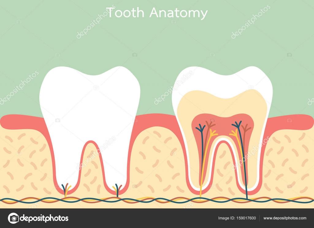 Anatomía dental sana — Archivo Imágenes Vectoriales © wissanustock ...