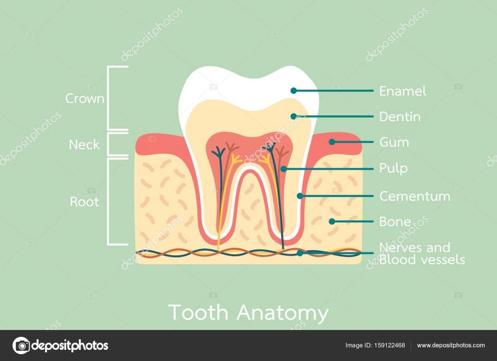 Anatomía dental sana con la palabra — Vector de stock © wissanustock ...