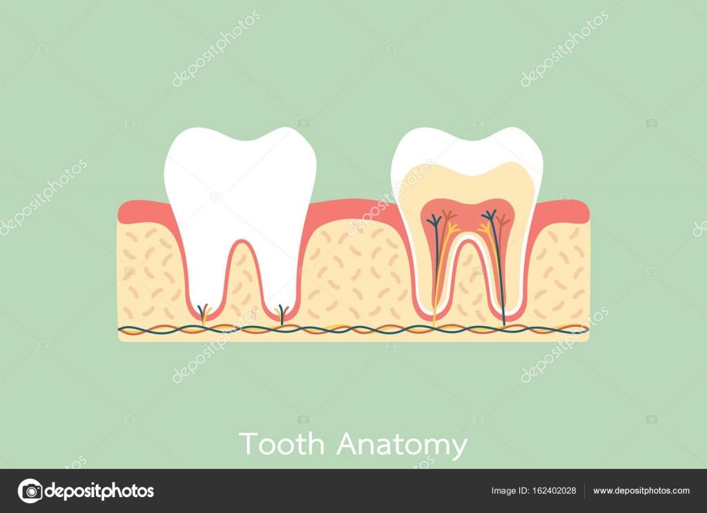 gesunde Zähne-Anatomie — Stockvektor © wissanustock #162402028