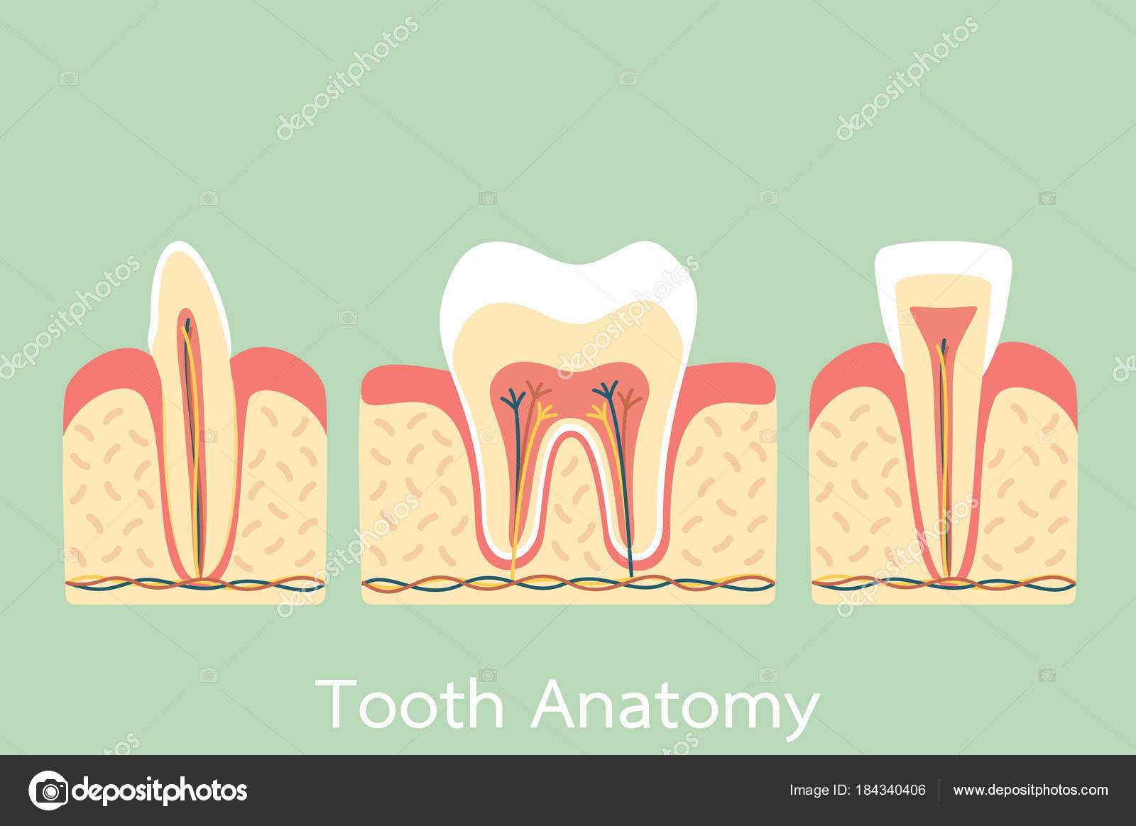group of tooth anatomy structure including the bone and gum, molar ...