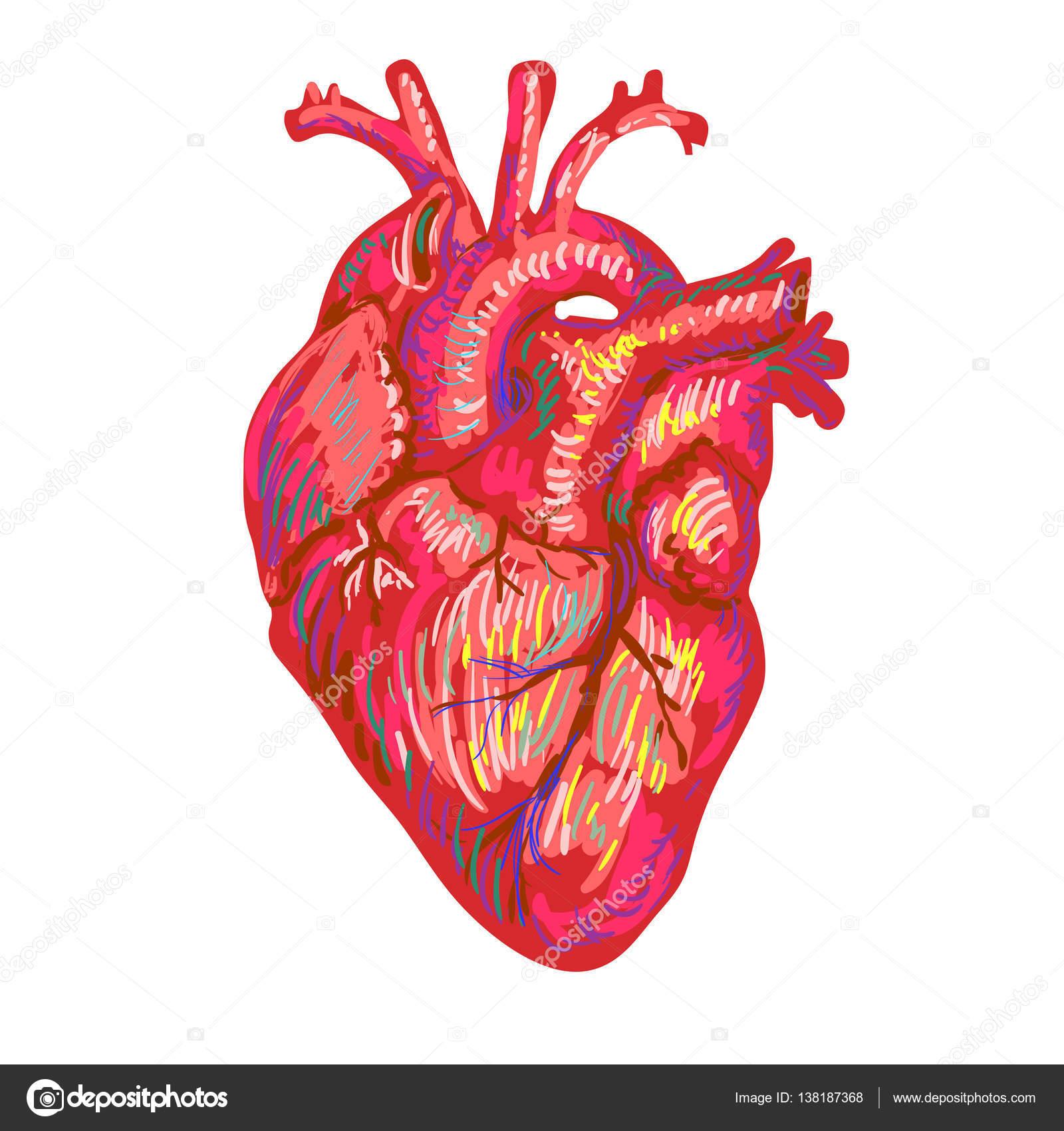 Dibujos Corazon Humano Dibujo Del Bosquejo Del Corazón Humano