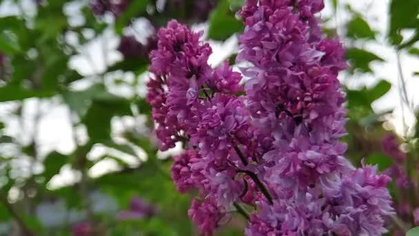 Větve kvetoucích šeříků. Fialové květy na stromě.