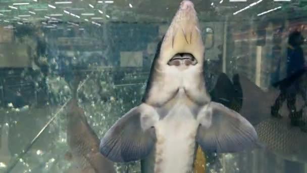 A tokhal egy akváriumban úszik pontyok között. Üvegben ver. Kék víz. Gyönyörű hal..