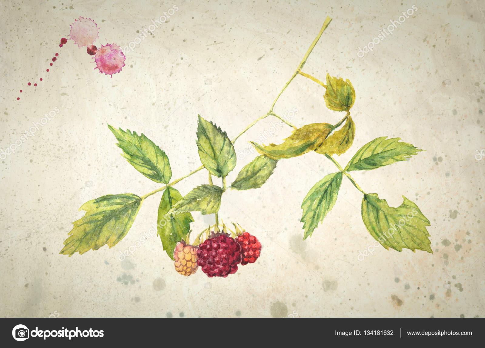 Ein Zweig Der Himbeere Realistisches Aquarell Malen Auf Vintage