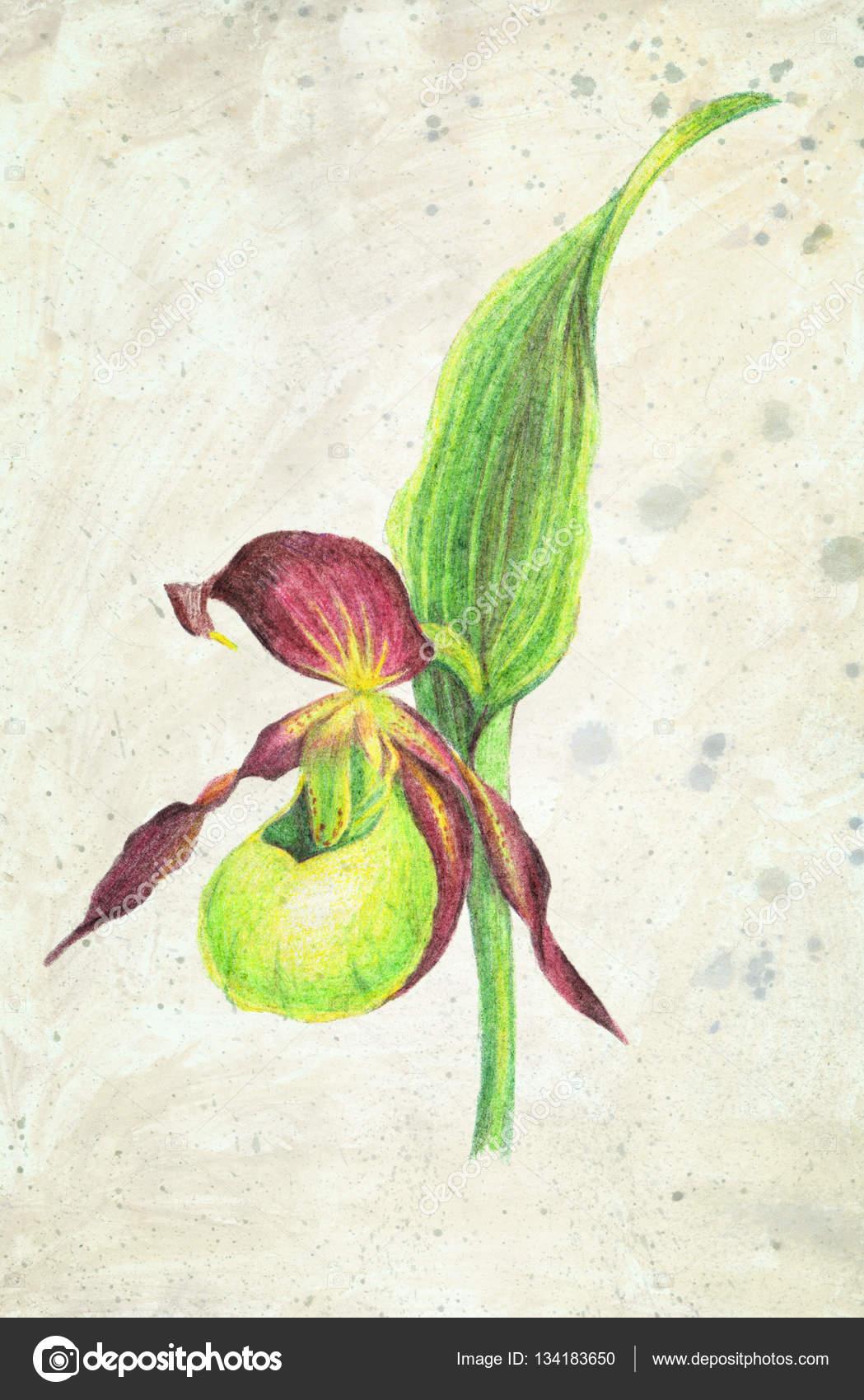 Illustration D Orchidee Cypripede Des Fleurs Crayon De Couleur