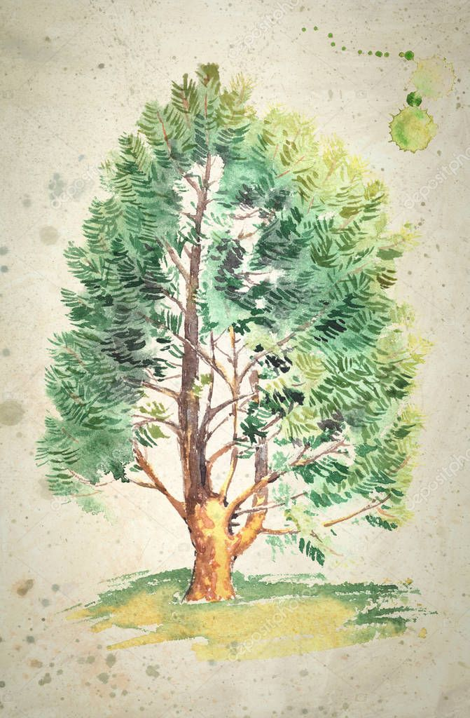 Watercolor painting of a realistic cedar tree,on vintage beige background.