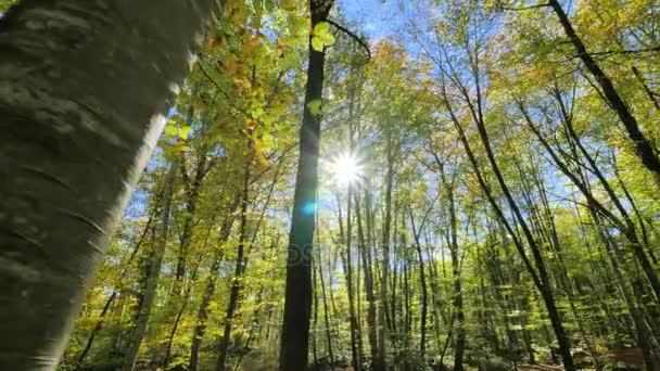 Őszén a fatörzsek a bükkfák között mozgó