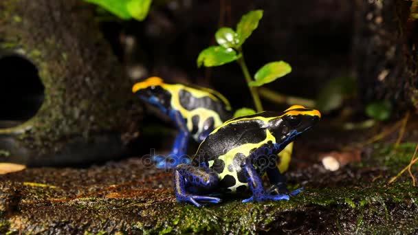Coppia di rana del dardo del veleno blu e giallo