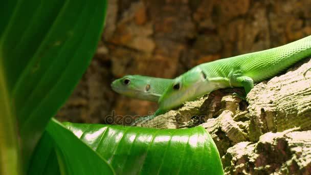 Zelená laktid ještěrky Gastropholis Prasina pár