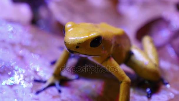 Rana della freccia del veleno dorato Terribilis