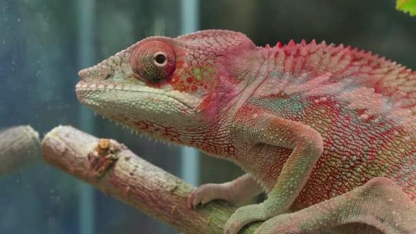 Chameleon kamufláž plazů