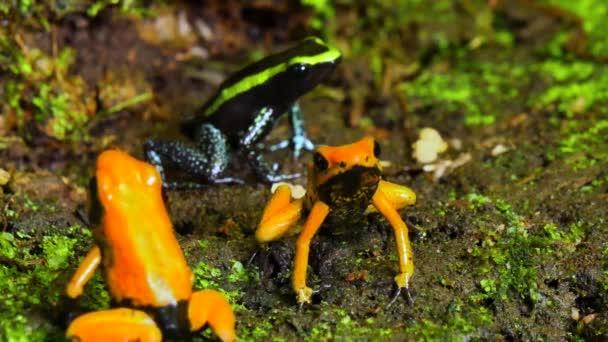 Gruppo Golden veleno Terribilis freccia rana