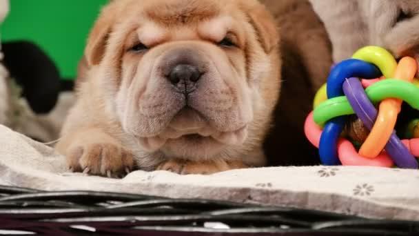 Novorozence Shar Pei pes štěňata v košíku zelená obrazovka. Roztomilá štěňátka Shar Pei pózování a odpočívá ve studiu. Vrásčitá malé roztomilé psy pro klíčování chroma. Pes bab closeup