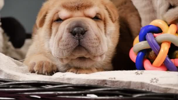 Novorozence Shar Pei pes štěňata v košíku. Roztomilá štěňátka Shar Pei pózování a odpočívá ve studiu. Vrásčitá malé roztomilé psy. Pes bab closeup