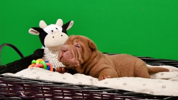 Novorozené Shar Pei pes štěně v košíku Green Screen.Cute Shar Pei štěně pózování a odpočívá ve studiu. Vrásčitá malé roztomilé psy pro klíčování chroma. Pes bab closeup