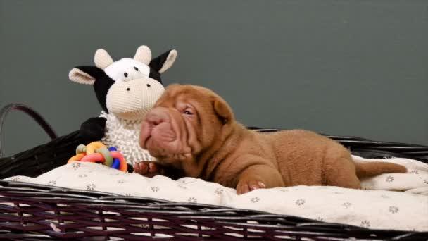 Novorozence Shar Pei pes štěně v košíku. Roztomilé štěně Shar Pei pózování a odpočívá ve studiu. Vrásčitá malý roztomilý pejsek. Pes bab closeup