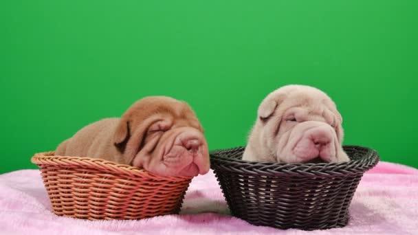 Dvě novorozené Shar Pei pes štěňata v košíku Green Screen.Cute Shar Pei štěňátka pózování a odpočívá ve studiu. Vrásčitá malé roztomilé psy pro klíčování chroma. Pes bab closeup