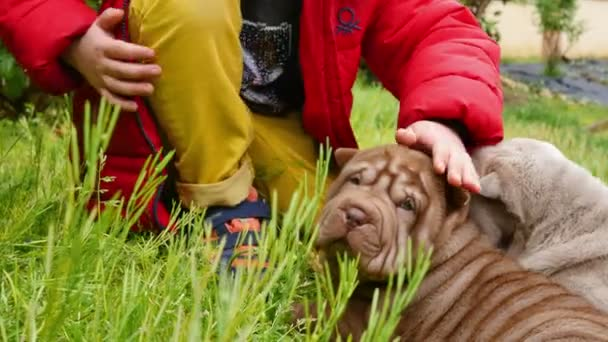 Dítě pohladí jeho Shar Pei štěňátka na zahradě. Cute shar pei dogs s jeho majitelem. Vrásčitá malý roztomilý pes štěňata.