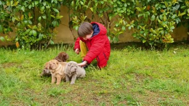 Dítě pohladí jeho Shar Pei štěňátka na zahradě. Cute shar pei dogs s jeho majitelem. Vrásčitá malý roztomilý pes štěňata