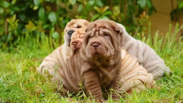 Shar Pei štěňátka hraje na zahradě. Cute shar pei baby dogs v zahradě. Vrásčitá malý roztomilý pes štěňata