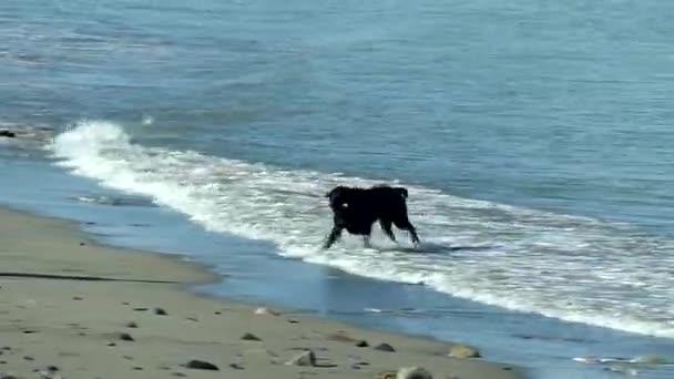 Beach waves reach the shoreline as this Black Labrador dog retrieves thrown stick.