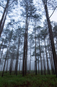 Cloudy forest morning with tall thin trees