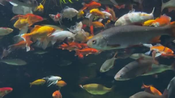 Sok nagy színes fényes hal úszik az akváriumban. Párizs, Trocadero. Mozgalmas víz alatti élet. Természetes fény