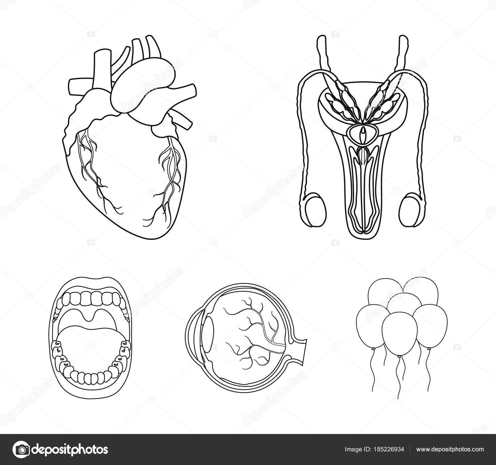 Organos Del Cuerpo Humano Para Colorear Para Niños Sistema