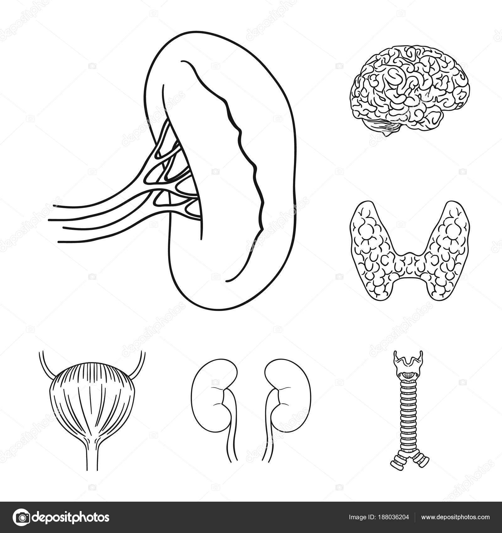 Menschliche Organe umreißen Symbole im Set Sammlung für Design ...