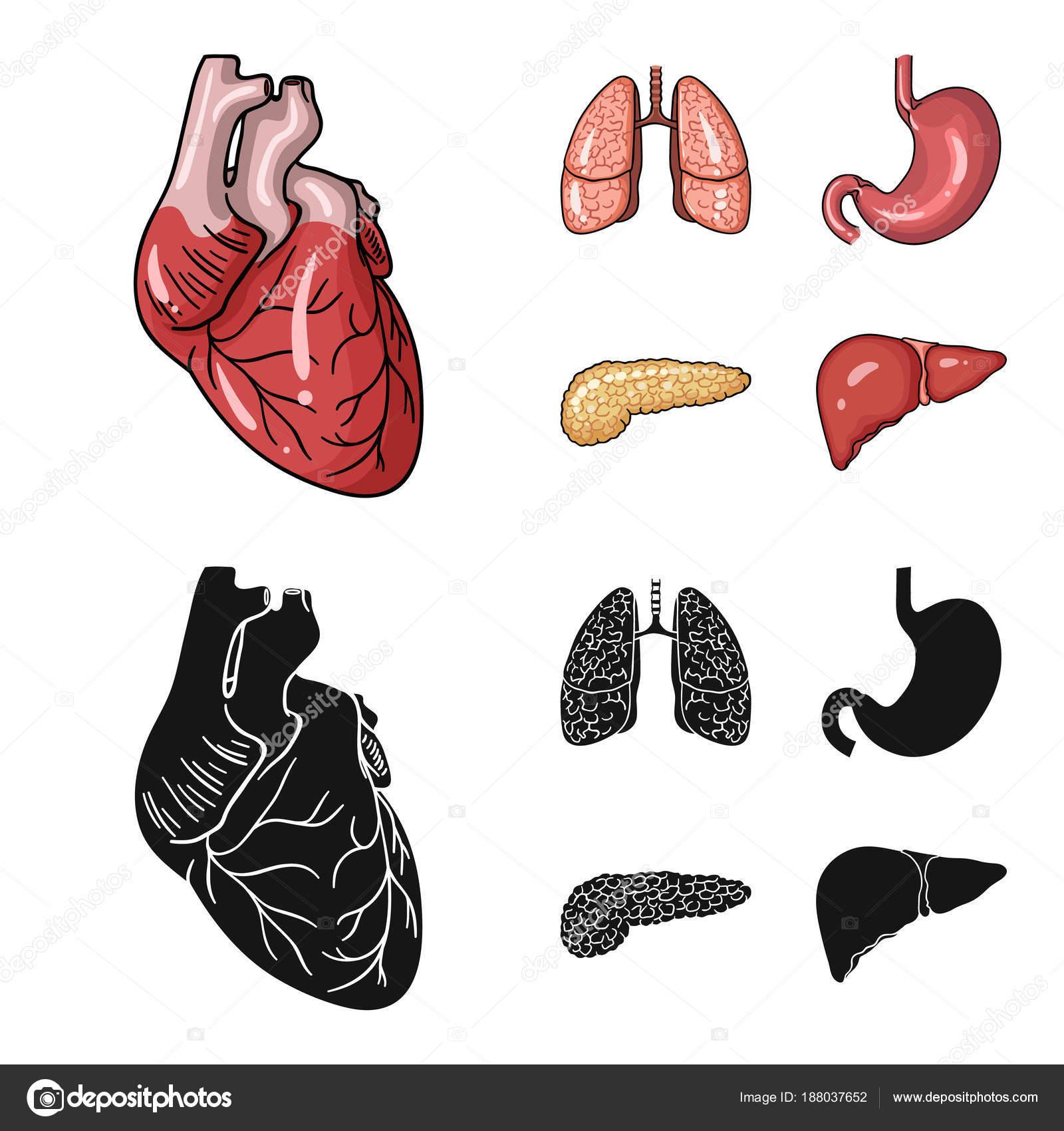 Herz, Lunge, Magen, Bauchspeicheldrüse. Menschliche Organe stellen ...