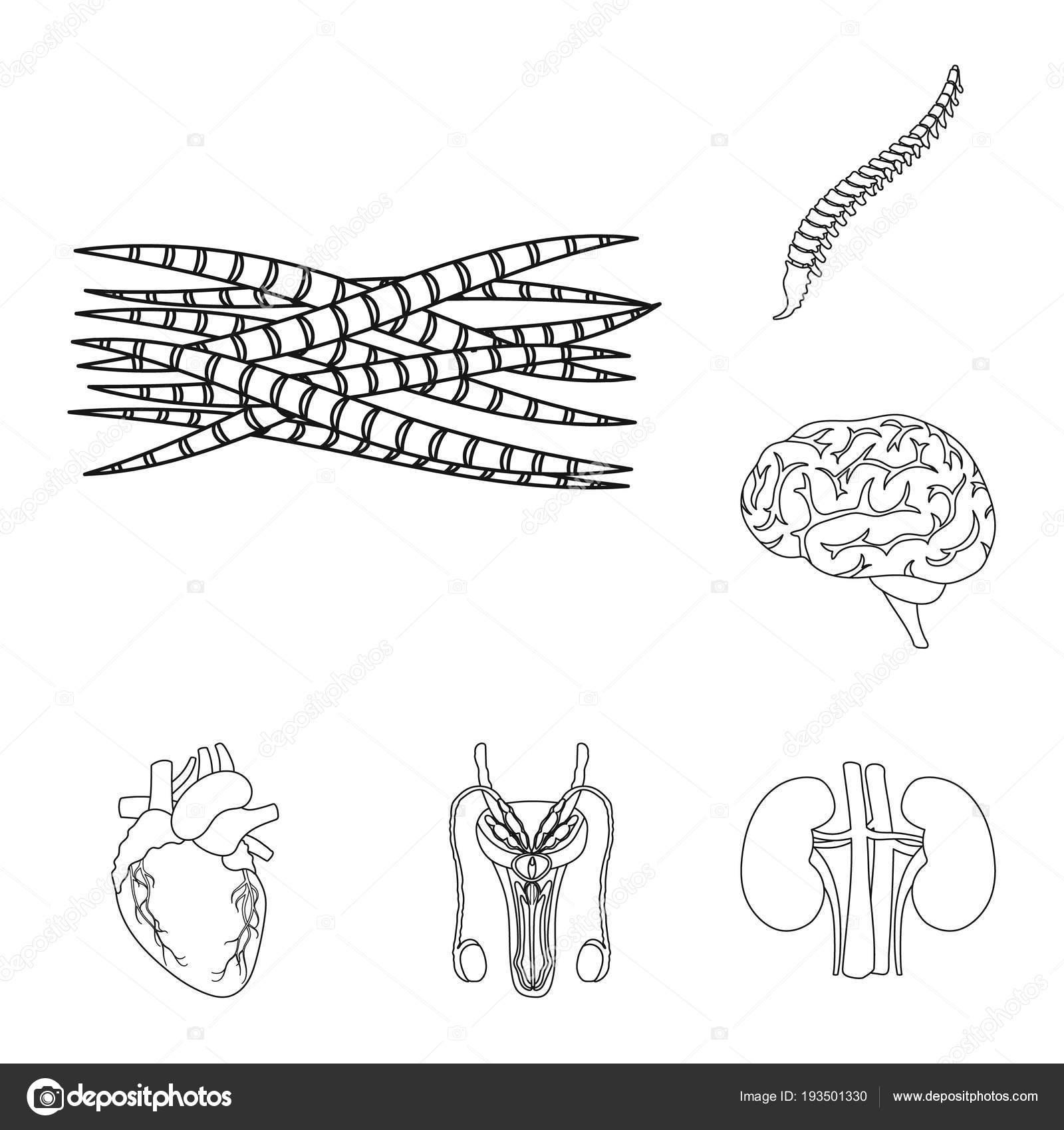 Inneren Organe eine menschliche Umrisse Icons Set Sammlung für ...