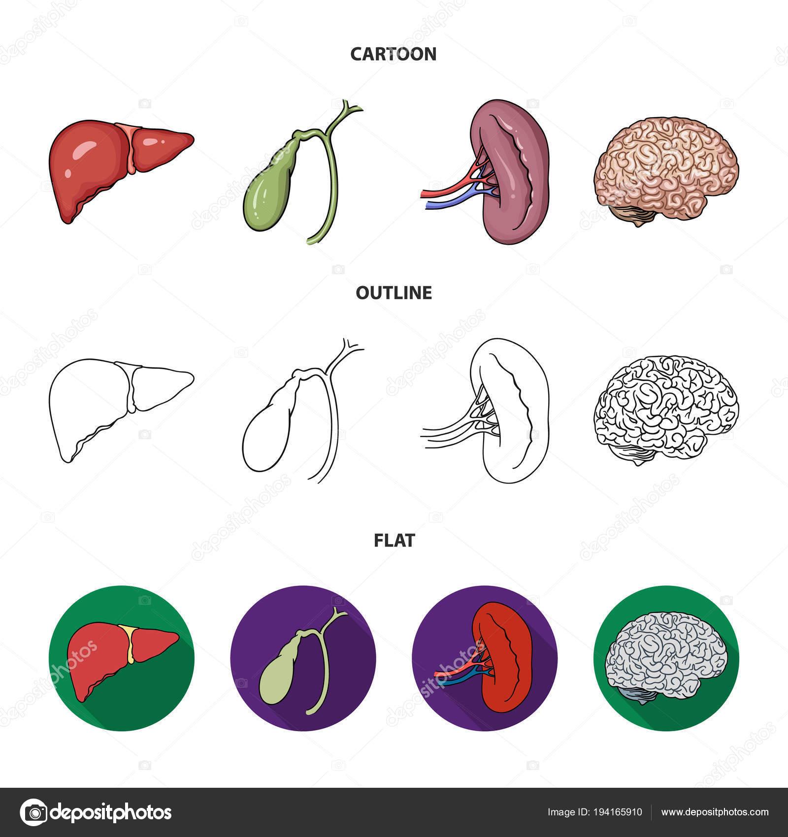 Hígado, vesícula biliar, riñón, cerebro. Órganos humanos establecer ...