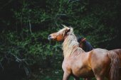 Two beautiful horse with a long mane beautiful plays on the background of dark green forest.