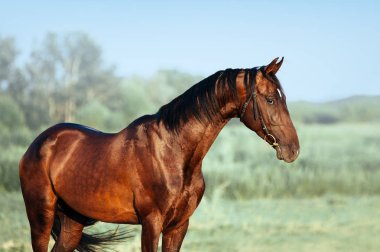 Beautiful portrait of Akhal-Teke stallion.