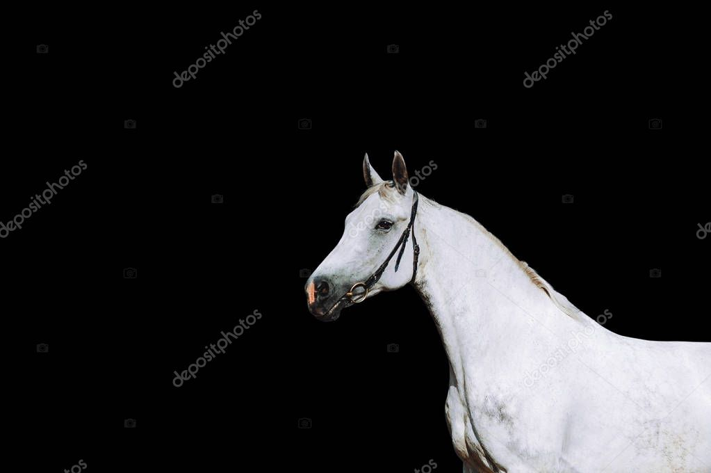 Portrait of a strong white horse on a black background.