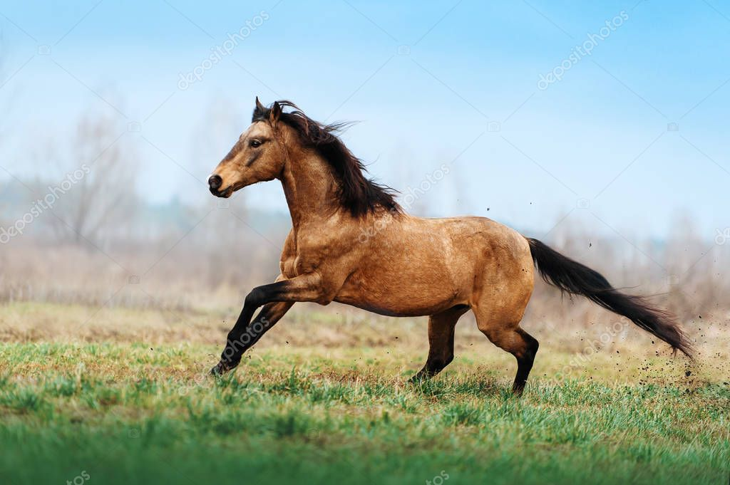 Auburn stallion runs gallop on the field on a blurred background