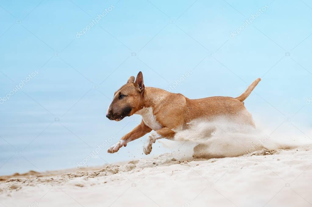 Beautiful red and white dog breed mini bull terrier running along the beach against the backdrop of water and sand raises up