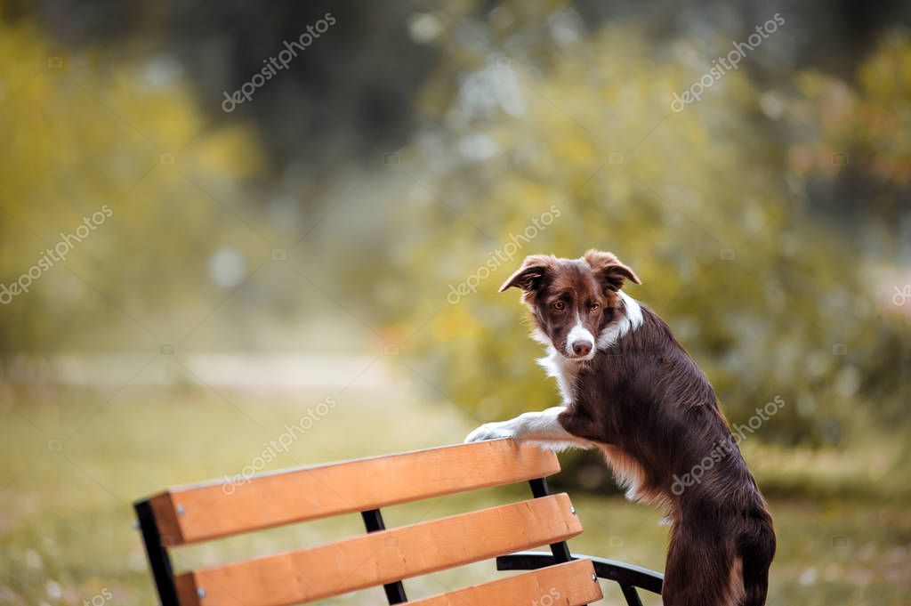 Chocolate border collie stands on a bench and looking at the floor against the backdrop of the fall turnover park