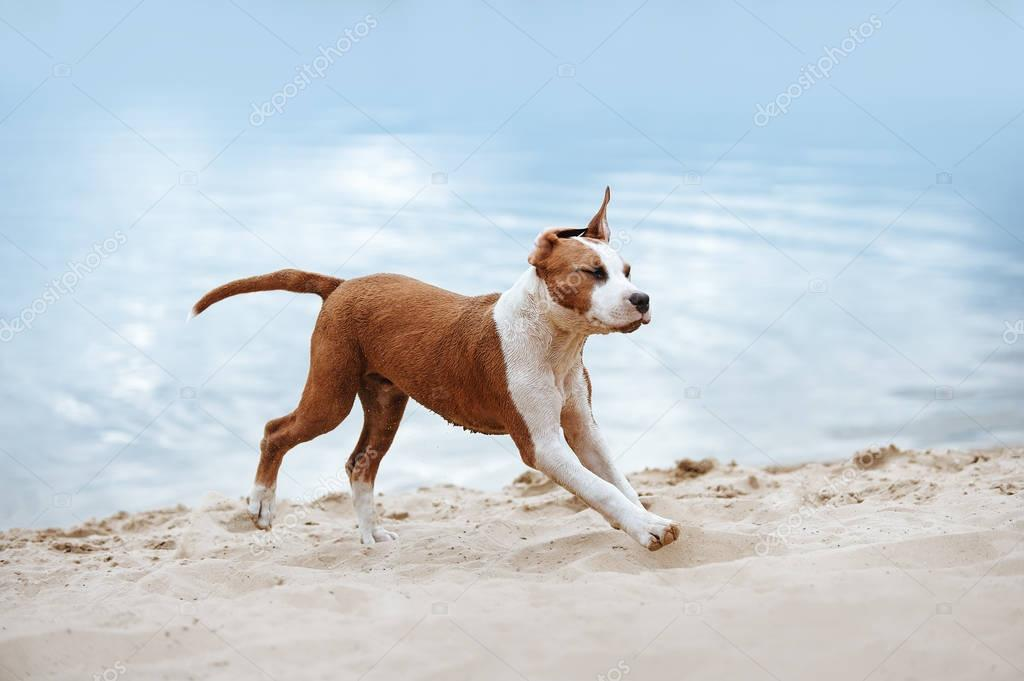 Beautiful Staffordshire terrier puppy running across the sand at the beach on a background of blue water