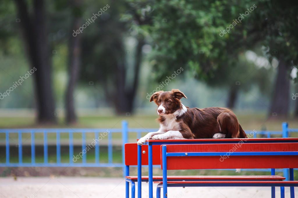 Beautiful dog breed border collie lying on the table in the park by performing commands.